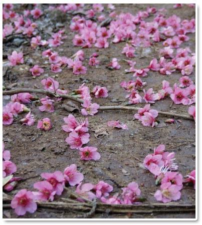 ดอยสีชมพู ที่ขุนแม่ยะ จังหวัดเชียงใหม่...เกาหลีเมืองไทย